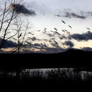 Geese Flying over Lake at Dusk - Free High Resolution Photo