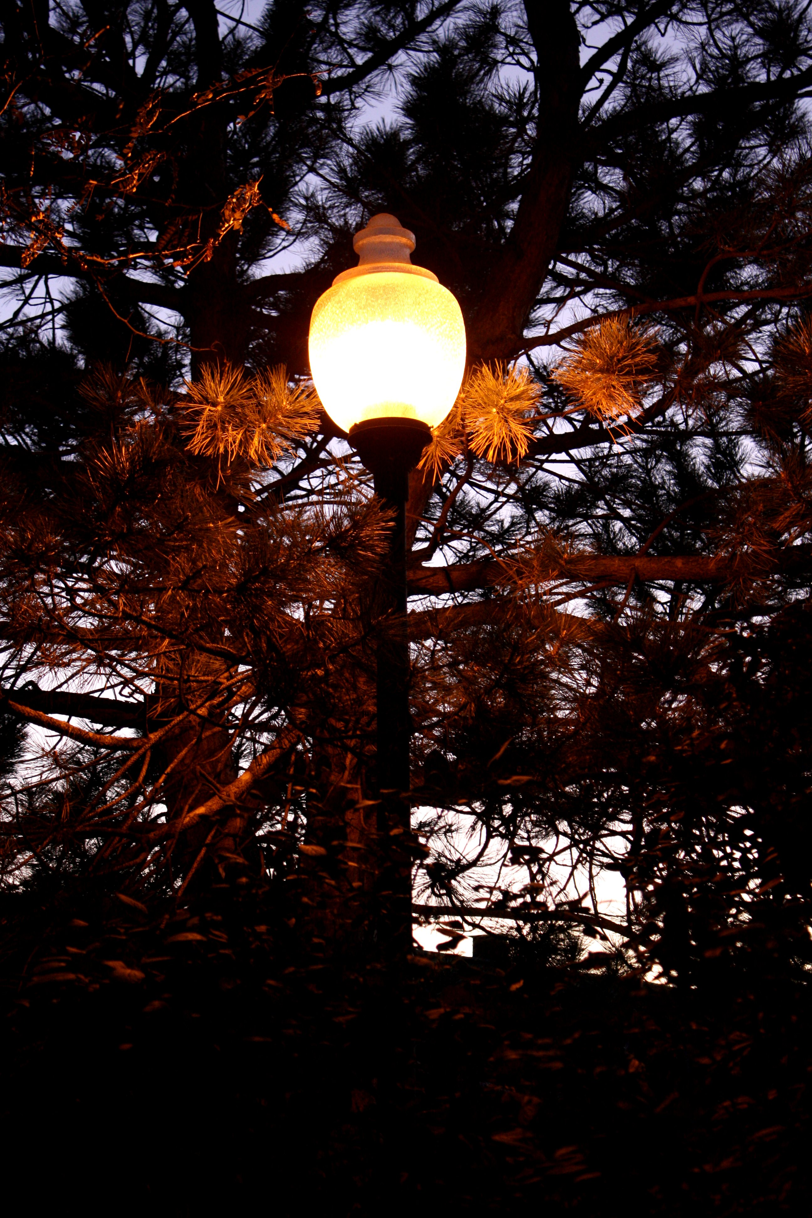 Lit Street Lamp Among Pine Branches At Dusk Picture Free
