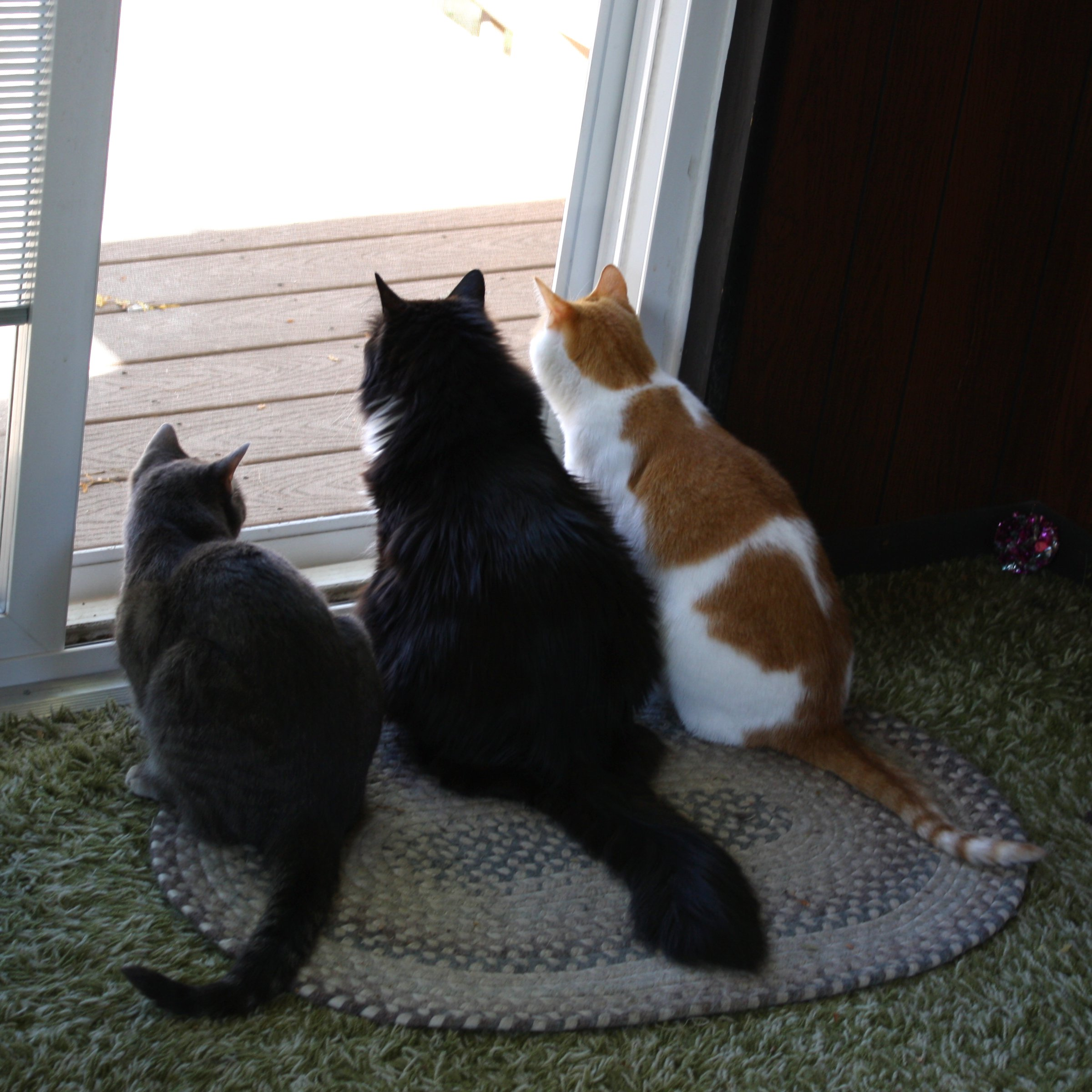 Three cats looking out back door picture free photograph The three cats