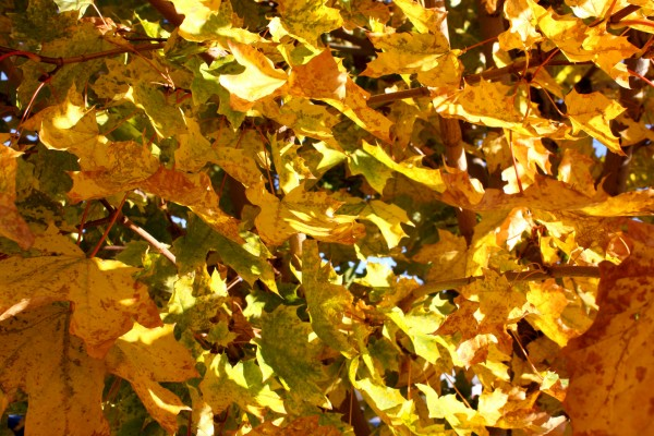 Yellow Fall Maple Leaves in Sunlight Texture - Free High Resolution Photo