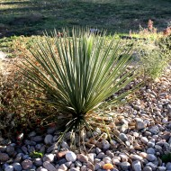 Yucca Plant in Rock Garden - Free High Resolution Photo