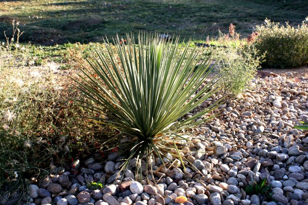 Yucca Plant in Rock Garden - Free High Resolution Photo