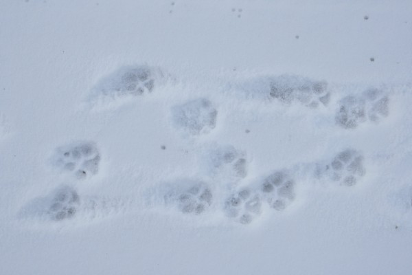 Dog Paw Prints in the Snow - Free High Resolution Photo