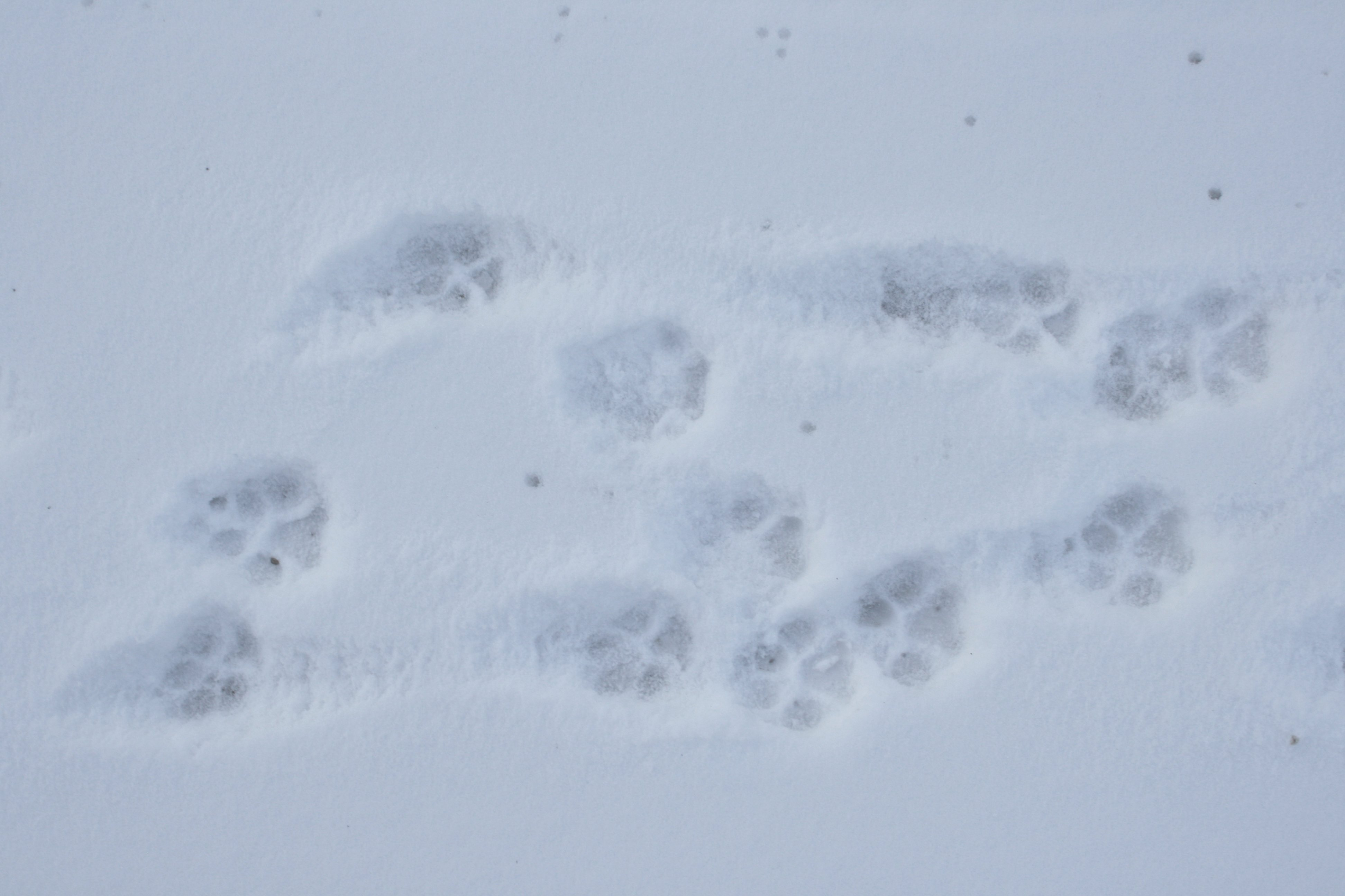 Dog paw prints in the snow picture free photograph photos public dog paw prints in the snow publicscrutiny Choice Image