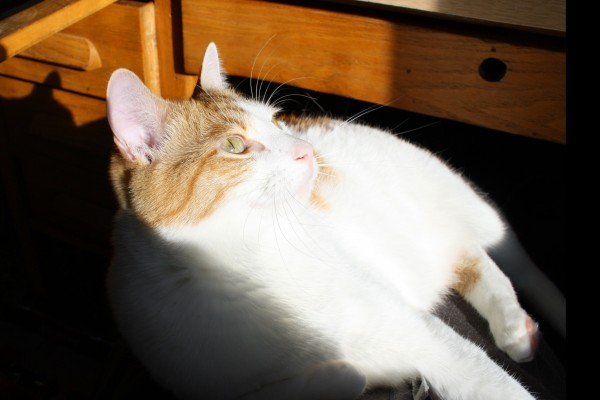 Orange and White Cat in a Sunbeam - Free High Resolution Photo