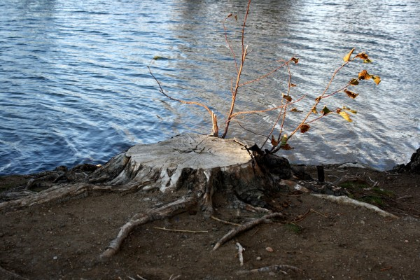Tree Stump by Edge of Water - Free High Resolution Photo