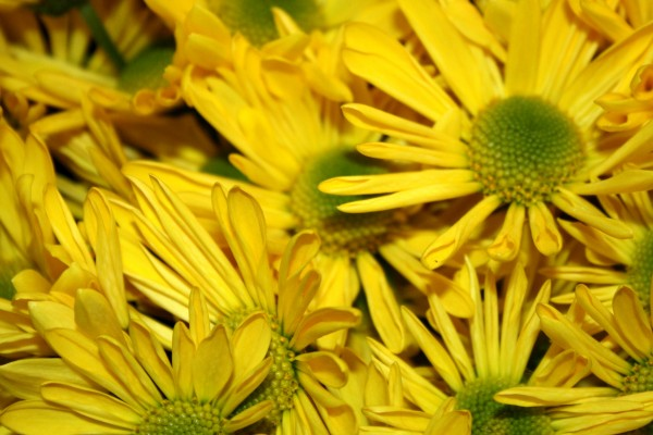 Yellow Daisies Close Up Texture - Free High Resolution Photo