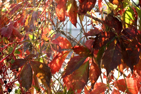 Autumn Red Virginia Creeper Vine Leaves In The Sun Picture