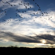 Flock of Birds in Sky - Free High Resolution Photo
