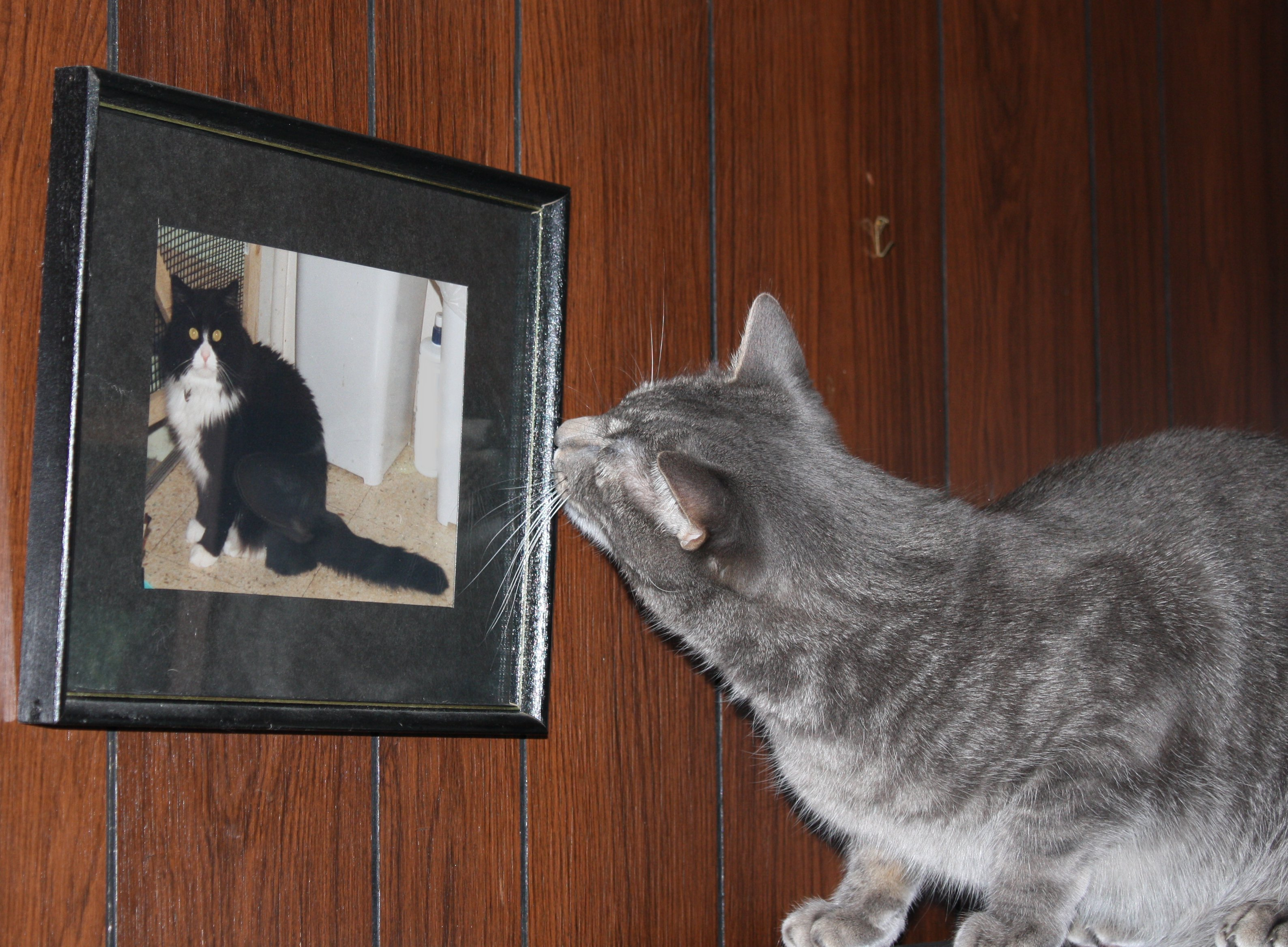 Cat Looking at Framed of Another Cat Picture
