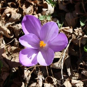 Purple Crocus Flower - Free High Resolution Photo