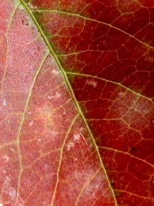 Red Leaf Texture - Free Photo