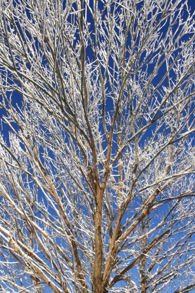 Snow Covered Tree Branches - Free High Resolution Photo