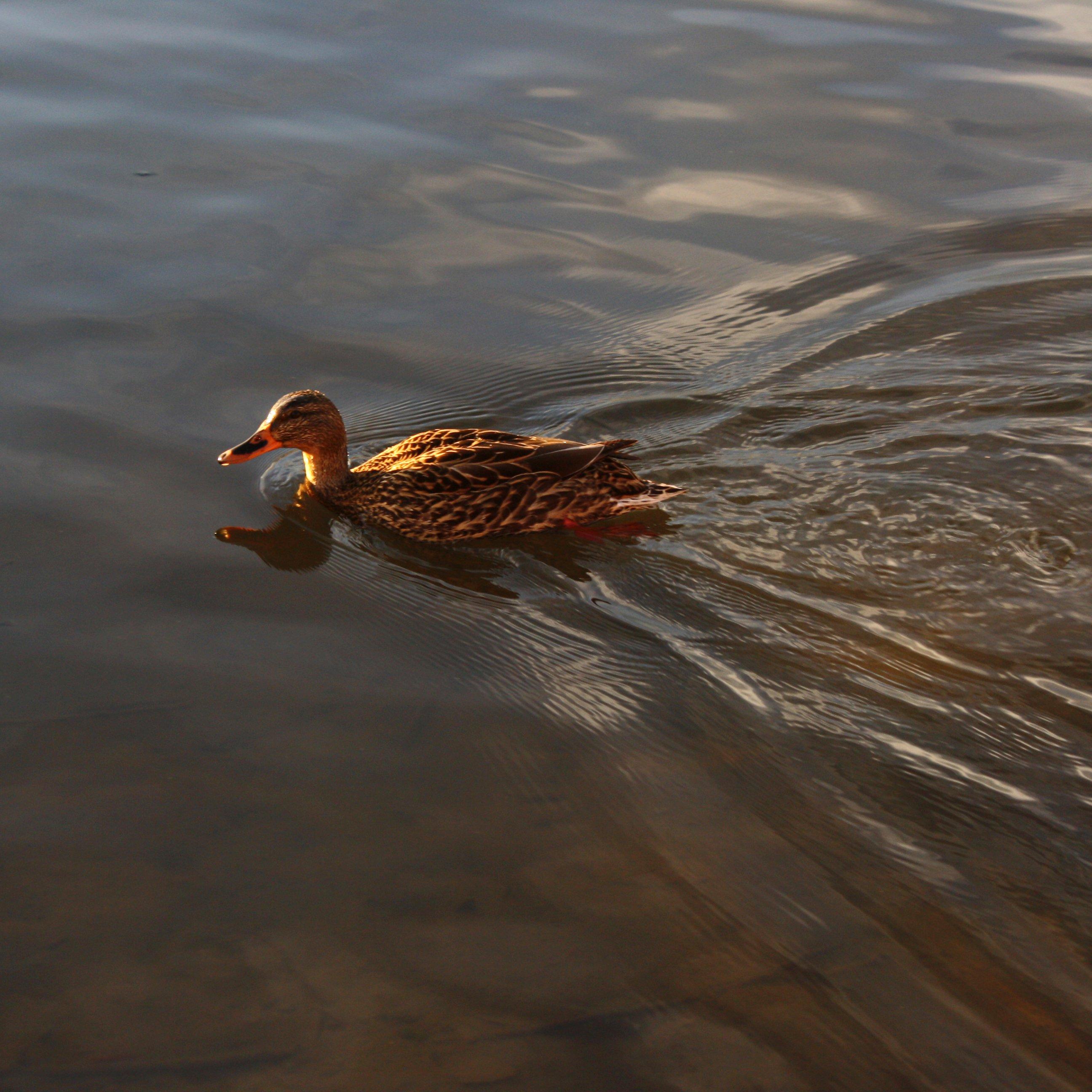 Swimming Duck – Photos Public Domain