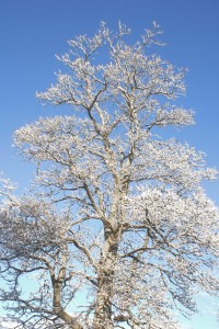Winter Tree with Snow Covered Branches - Free high resolution Photo