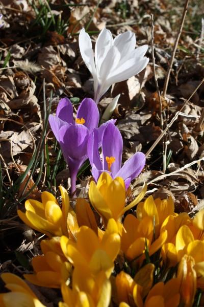 Yellow Purple and White Crocus - Free High Resolution Photo
