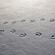 Goose Tracks in Snow - Free High Resolution Photo