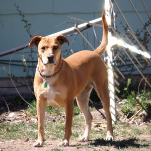 Brown Dog with Tail Up - Free High Resolution Photo
