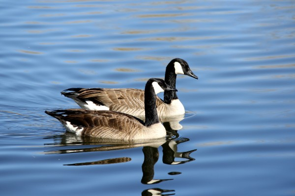 Canadian Geese in Blue Water - Free High Resolution Photo
