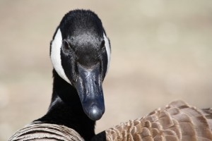 Canadian Goose Close Up - Free High Resolution Photo