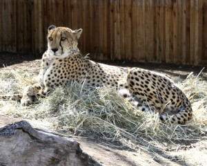 Cheetah - Free photo