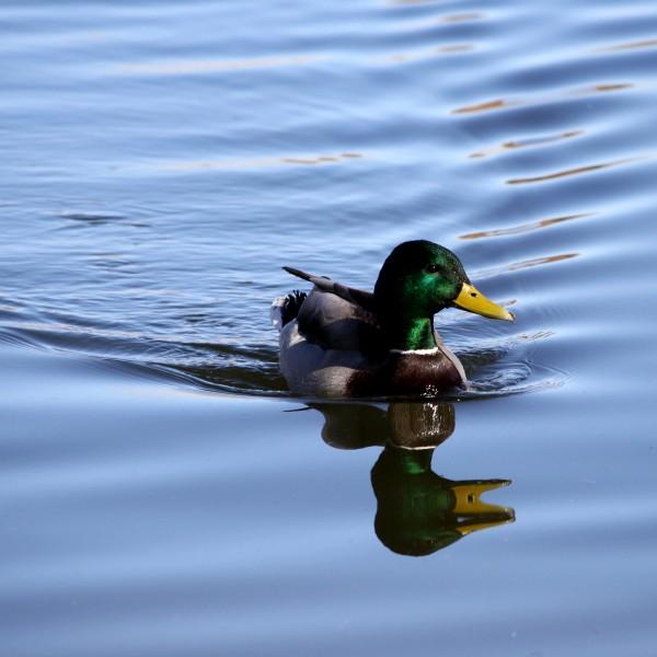 Duck - Mallard - Free High Resolution Photo