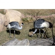 east-african-crowned-cranes-thumbnail