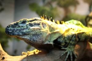 Frilled Lizard - Free High Resolution Photo