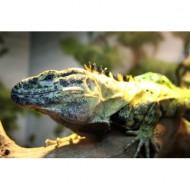 frilled-lizard-thumbnail