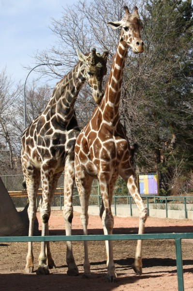 Giraffes - Free high resolution photo of 2 giraffes at the zoo