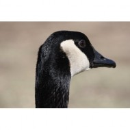 goose-face-close-up-thumbnail