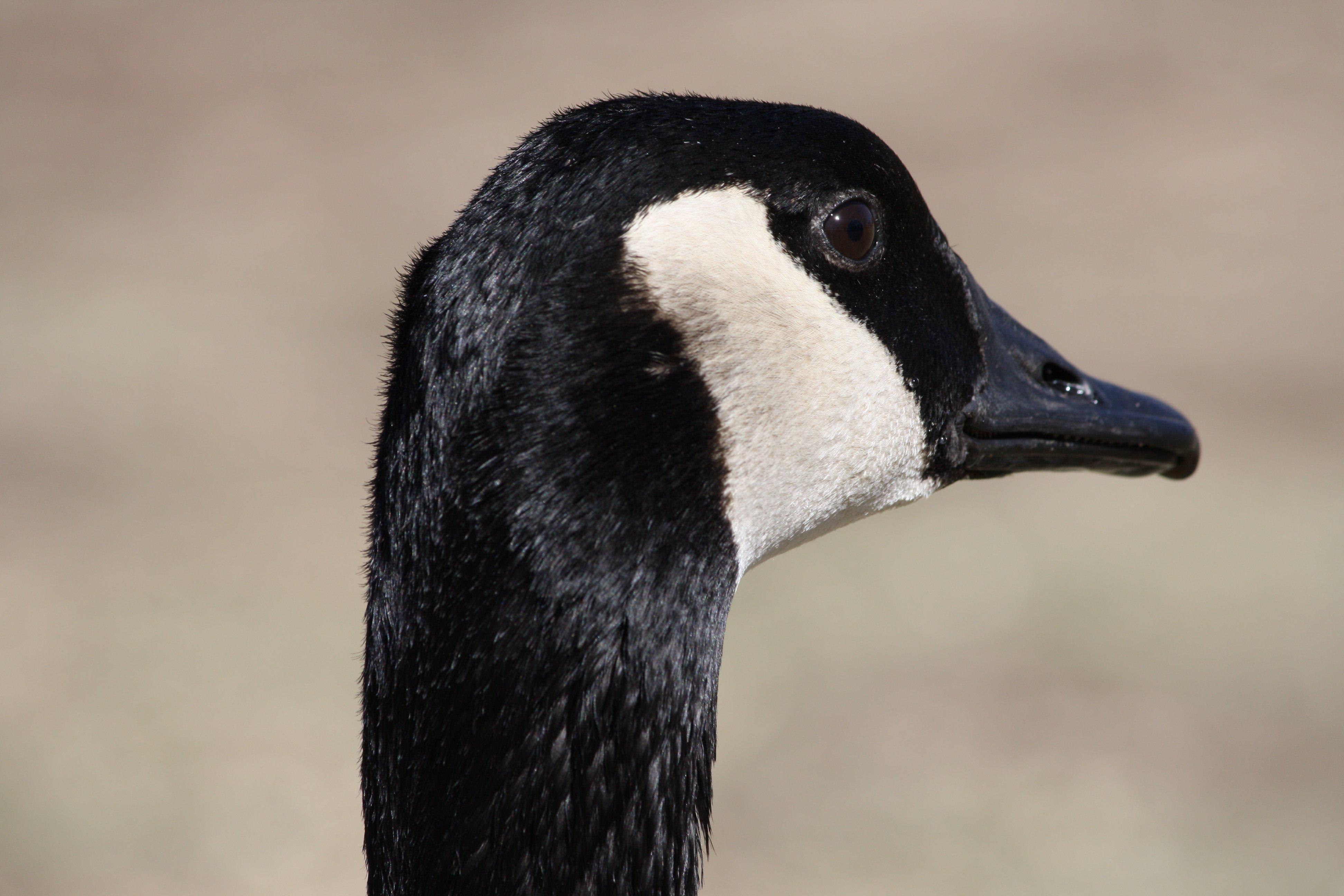 Goose Face Close Up Picture Free Photograph Photos