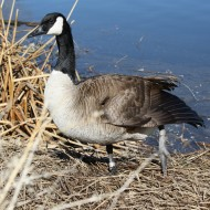 Goose with Injured Leg - Free High Resolution Photo