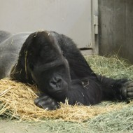 Gorilla Looking Bored - Free High Resolution Photo