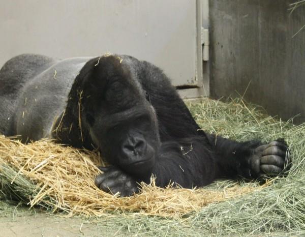 Gorilla Looking Bored - Free High Resolution Photo