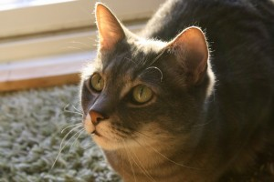 Gray Tabby Cat in Sunbeam Close Up - Free High Resolution Photo