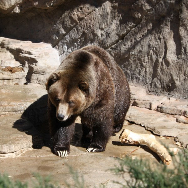 Grizzly Bear - Free High Resolution Photo