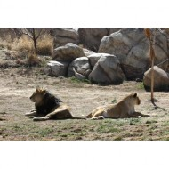 lion-couple-refusing-to-look-at-each-other-thumbnail