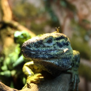 Lizard Close Up - Free High Resolution Photo