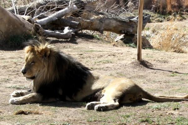 Male Lion - Free photo