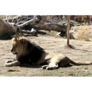 male-lion-thumbnail