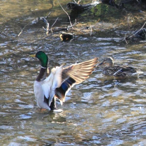 Mallard Duck Flapping Wings - Free Photo