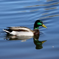 Mallard Duck with Green Head - Free High Resolution Photo