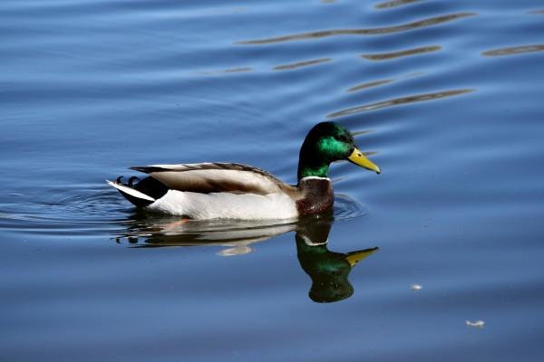 Mallard Duck with Green Head - Free High Resolution Photo