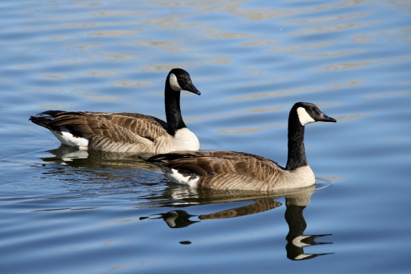 Pair of Geese on the Water - Free High Resolution Photo