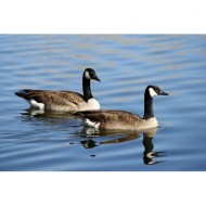pair-of-geese-on-the-water-thumbnail