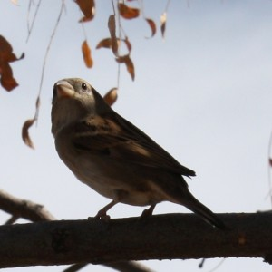 Sparrow on a Branch - Free photo