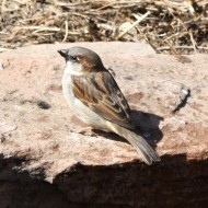 Sparrow on a Rock - Free photo