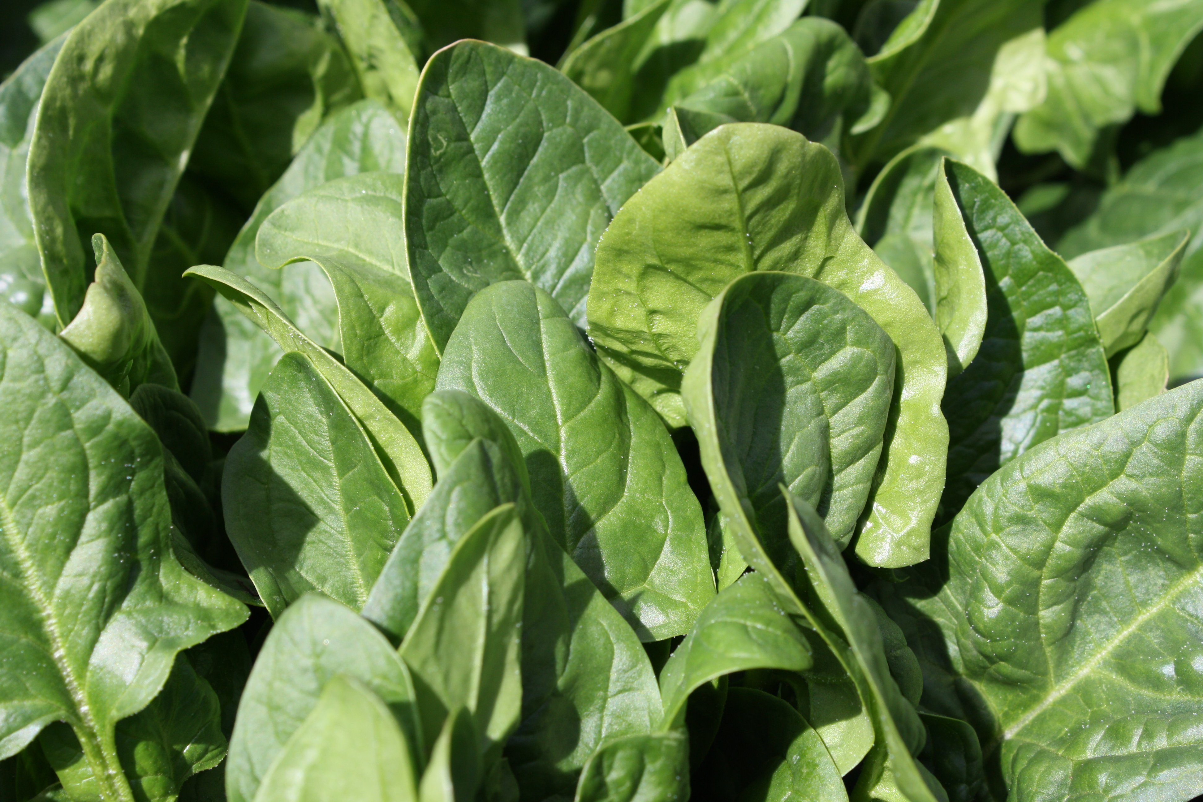 Spinach - free high resolution photo - Dimensions: 3888 × 2592