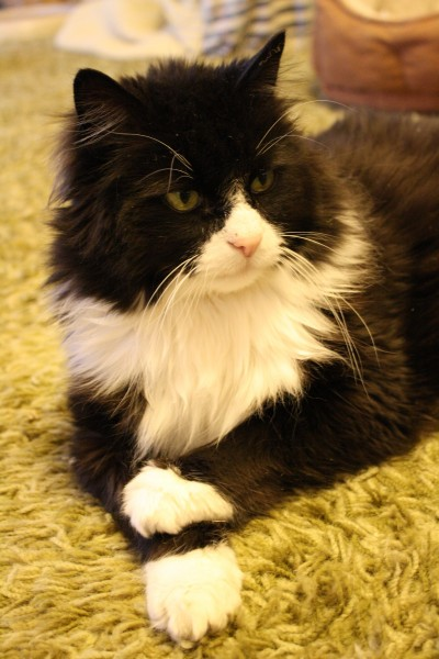 Tuxedo Cat with Crossed Paws - Free High Resolution Photo